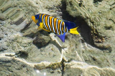 Colorful , colorful, exotic fish of the Red Sea   Angel fish  royal peacock, diakantus    Afrika Egipet   photo