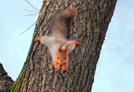 Food animals.Beautiful, red squirrel hanging from a tree upside down and nibbles nut photo