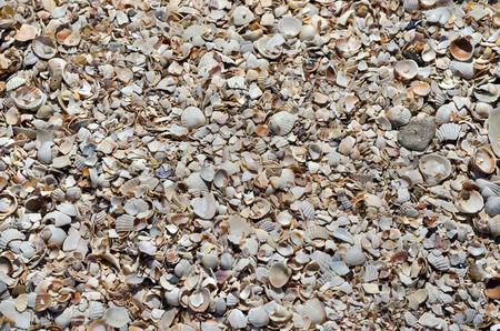 coquina: Coquina mar. Textura, fondo, textura