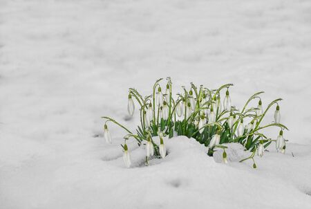 punched: Early flowers, white snowdrops are punched out of the snow. Spring landscape