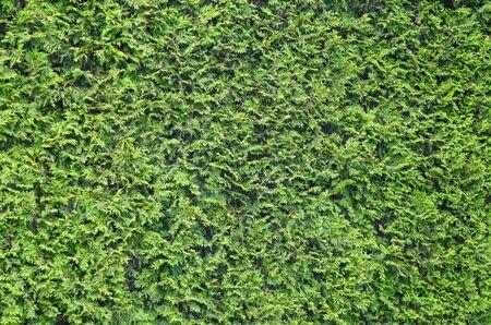 arborvitae: Texture, background of the green leaves of arborvitae. Vegetation, bush Stock Photo