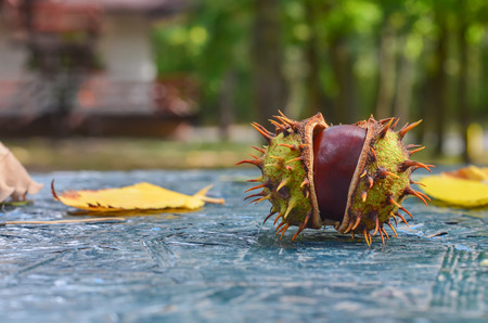 Autumn. In the forest, chestnuts fall. The two halves of the spiny burst chestnut on the table Stock Photo