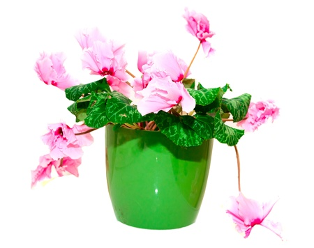 Pink cyclamen in a green pot Stock Photo - 17707652