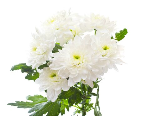 Bouquet of  chrysanthemums isolated on white background photo