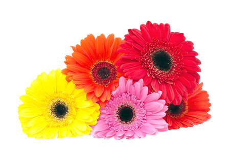 Gerbera Flower Isolated on White Background photo