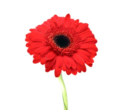 Gerbera Flower Isolated on White . photo