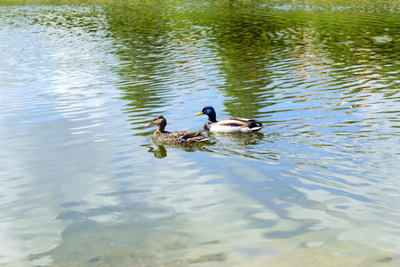 color image mallard duck: Two Duck on water. Photo. Stock Photo