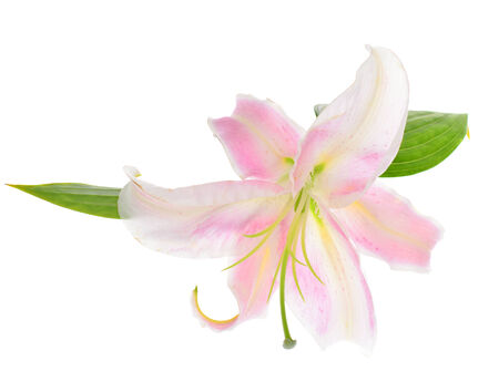 Pink Lily Isolated on White Background photo