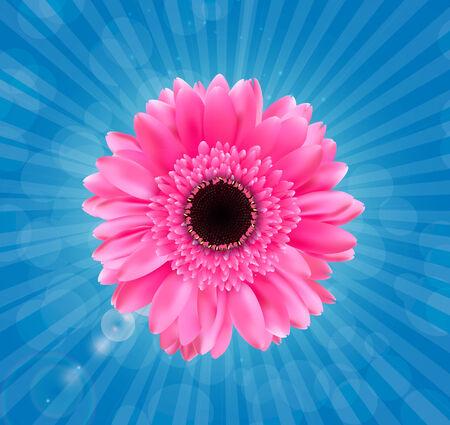 flor aislada: Gerbera flores aisladas sobre fondo blanco
