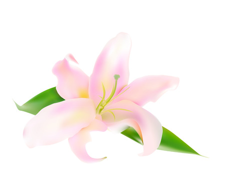 stamens: Realistic Pink Lily Vector Illustration