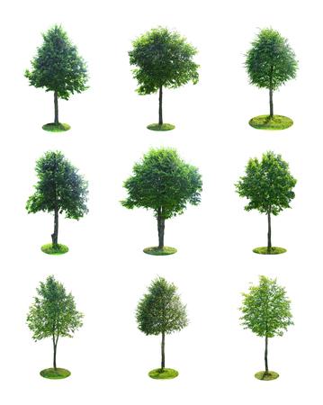 cinnamomum: Set of Green Tree Isolated on White Background