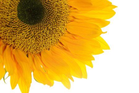 yelllow: Sunflower. Yelllow Flowers. Isolated on White Background Stock Photo
