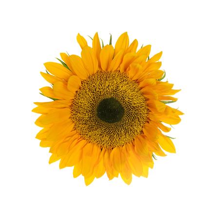 yelllow: Sunflower. Yelllow Flowers. Isolated on White Background Stock Photo