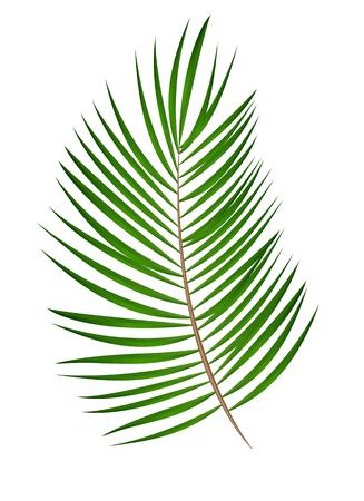 Hoja de palmera Vector fondo aislado EPS10