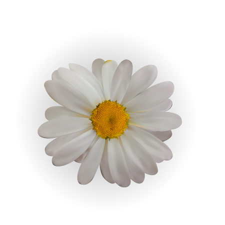 Colorful naturalistic beautiful chamomile on White Background.