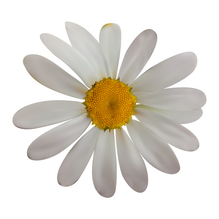 camomile tea: Colorful naturalistic beautiful chamomile on White Background. V