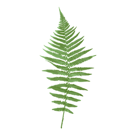 Naturalistic picture of Fern. Illustration