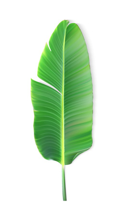 Naturalistic colorful leaf of banana palm. Vector Illustration. Zdjęcie Seryjne - 91778443