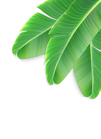 Naturalistic colorful leaf of banana palm. Vector Illustration.