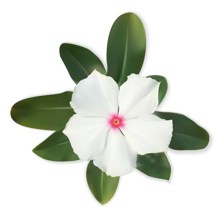Isolated Colorful beautiful naturalistic white flower with leave Illustration