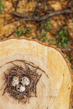 quail nest: Quail eggs in a nest on on felled trees