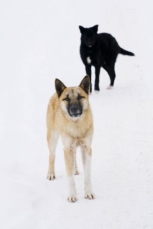 frost winter: dog, animal, pet, friend, mongrel, breed, couple, guard, fluffy, street, yard, snow, frost, winter, cold, cute, brown, black, apricot, white