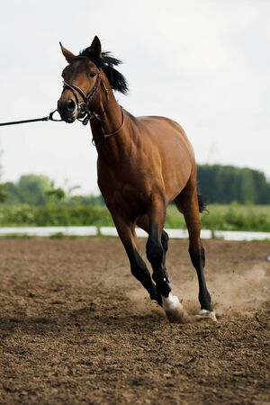 race track: harness, leash, running, movement, speed, professional, training, racing, race track, shiny, grass, earth, dust, hooves, tail, green, brown, horse, friend, saddle Stock Photo