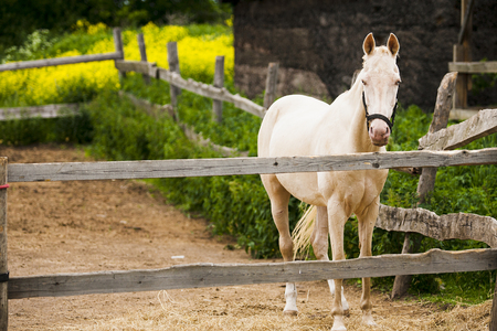 noble: horse, friend, harness, leash, muzzle, mane, neck, noble, intelligent, kind, shiny, assistant, corral, fence, grass, wood, green, beige