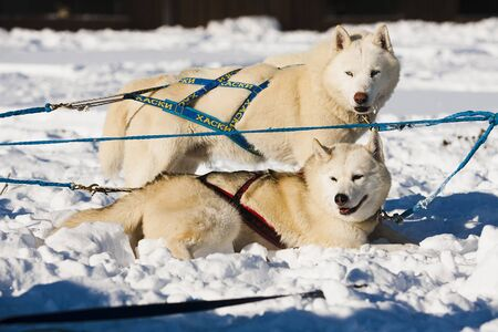 mushing: dog, husky, sled, breed, animal, pet, friend, guard, fluffy, blue-eyed, strong, competition, mushing, harness, chain, snow, winter, day, white, gray Stock Photo