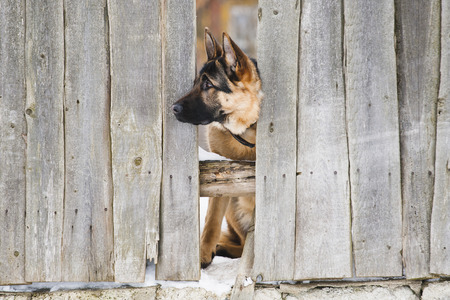 dog waiting: Dog behind a fence Stock Photo