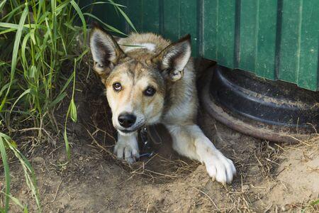 perro asustado: Perro asustado Wicked mira hacia fuera de debajo de la cerca verde en una tarde de verano.