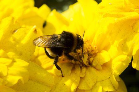 macrocosm: Bumblebee collecting pollen, lit day svetom.Makro Stock Photo