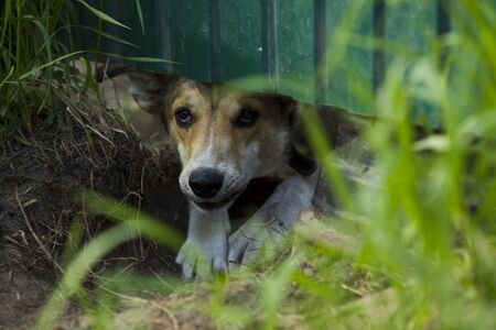 perro asustado: Wicked frightened dog looking out from under the green fence on a summer evening. Foto de archivo