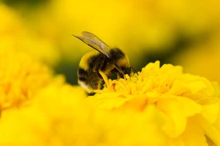 collecting: Bumblebee collecting pollen, lit day svetom.Makro Stock Photo