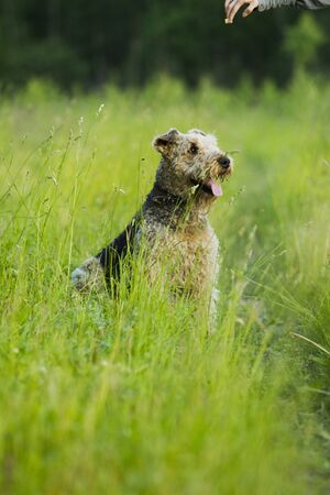 airedale terrier dog: Airedale terrier dog sitting in green grass on a sunny summer evening stroll.