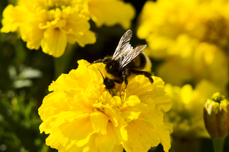 beneficial insect: Bumblebee collecting pollen, lit day svetom.Makro Stock Photo