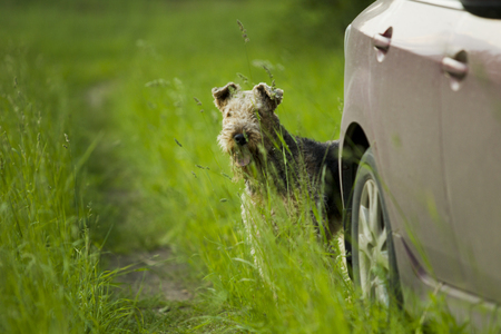 evening out: Airedale terrier dog looking out of the car in the green grass sunny summer evening. Stock Photo