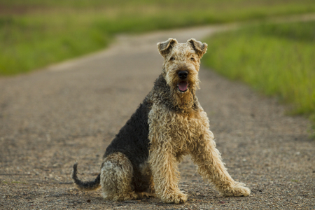 airedale terrier dog: Airedale terrier dog sitting on the road sunny summer evening.