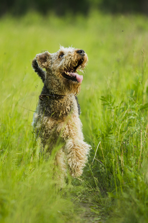 airedale terrier dog: Airedale terrier dog running in the green grass sunny summer evening. Stock Photo