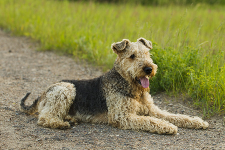 airedale terrier dog: Airedale terrier dog lying on the road in the green grass sunny summer evening.