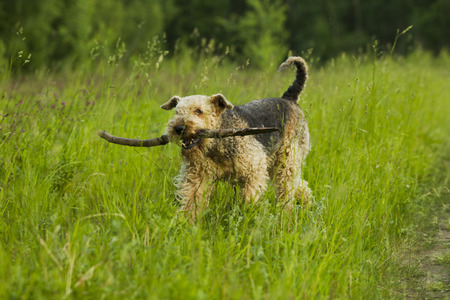 airedale terrier dog: Airedale terrier dog playing with a stick sunny summer evening.
