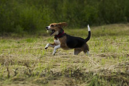 frolicking: Beagle dog with a ball in its mouth, running on the grass mown summer day. Stock Photo