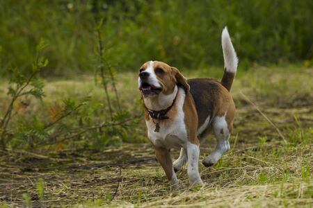 frolicking: Beagle dogs running across the grass summer day. Stock Photo