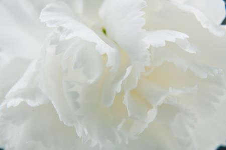 at white: White carnation Stock Photo