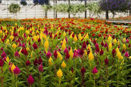 celosia: Celosia flower Stock Photo