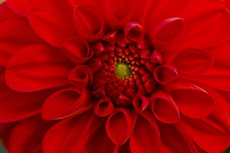 incarnadine: Flower red dahlia illuminated by natural light, the view from the top