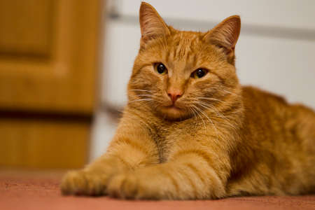 artificially: Red cat sitting on the floor in the house, the kitchen, lit artificially light