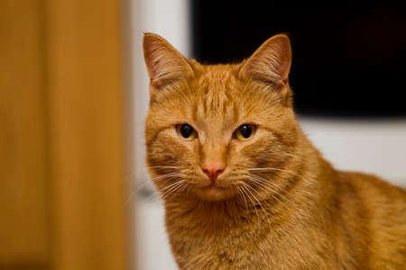 artifical: Gazing ginger cat, close up, Artifical light