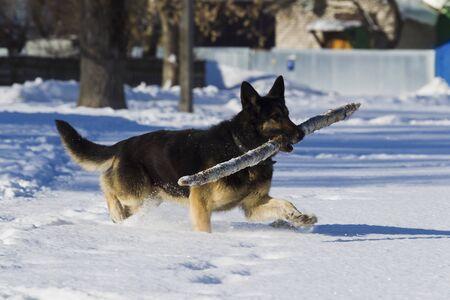 alsatian: Alsatian dog on snow background winter day, sunlight