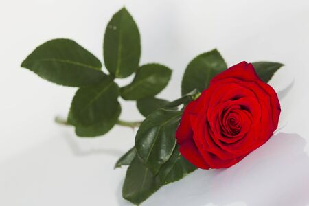 luz natural: Red rose on a white background, natural light, Macro Foto de archivo